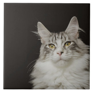Adult Maine Coon Cat Tile