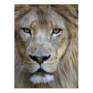 Adult male lion at the Sacramento Zoo, CA Postcard