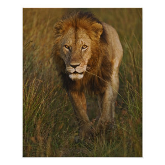 Adult male lion walking through tire tracks, poster