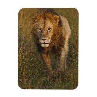 Adult male lion walking through tire tracks, rectangular photo magnet
