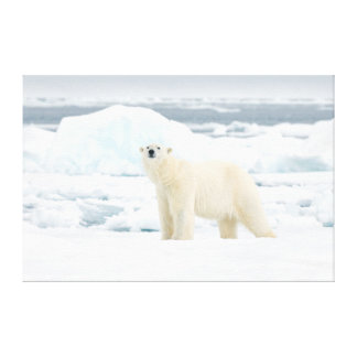 Adult polar bear in search of food canvas print
