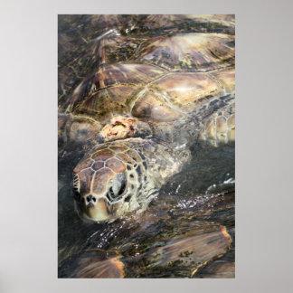 Adult Sea Turtle Posters