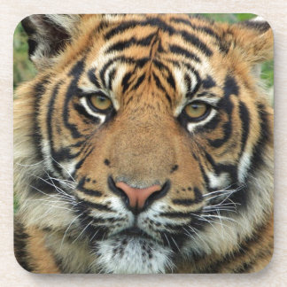 Adult Tiger Coaster