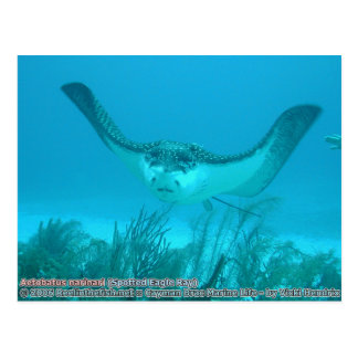 Aetobatus narinari (Spotted Eagle Ray) Postcard
