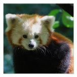 Affiche adorable de panda rouge