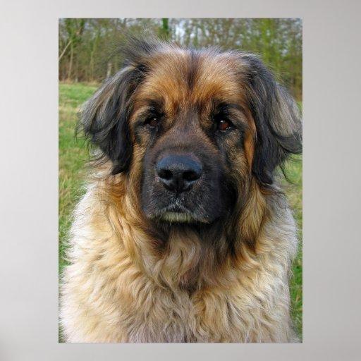 Affiche de chien de Leonberger, copie, belle photo