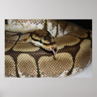 Affiche de python de boule d'araignée