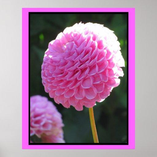 Affiche - fleur rose de dahlia