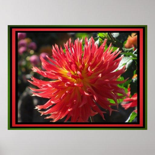 Affiche - fleur rouge de dahlia
