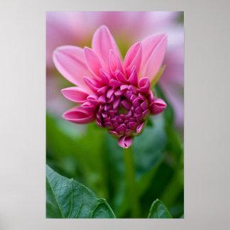 Affiche rose de dahlia