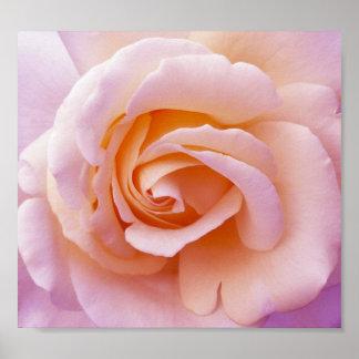 Affiche rose de jardin anglais de pays