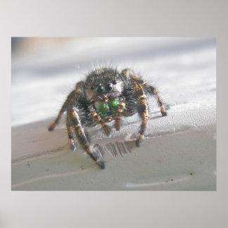 Affiche sautante d'araignée de Salticid