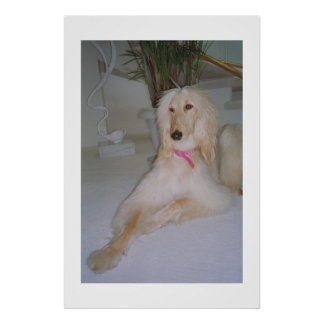 Afghan Hound Blond Poster