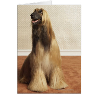 Afghan hound sitting in room 2 card