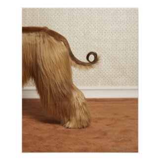 Afghan hound standing in room, end section poster