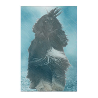 Afghan Hound Wind and Rain Blown Acrylic Print