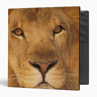 Africa. African male lion, or panthera leo. Binders