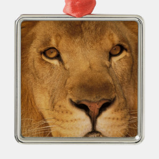 Africa. African male lion, or panthera leo. Silver-Colored Square Ornament