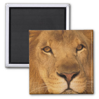 Africa. African male lion, or panthera leo. Square Magnet