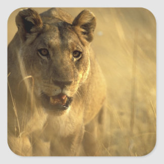Africa, Botswana, Moremi Game Reserve, Lioness Square Sticker