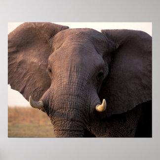 Africa, Botswana, Okavango Delta. Elephant Poster