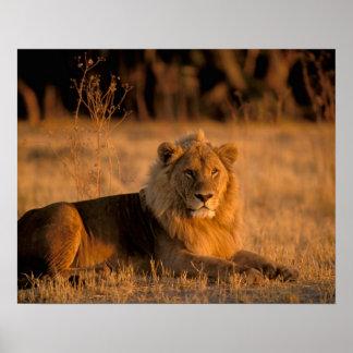 Africa, Botswana, Okavango Delta. Lion (Panthera Poster