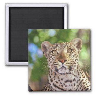Africa, Botswana, Okvango Delta, wild leopard. Magnet
