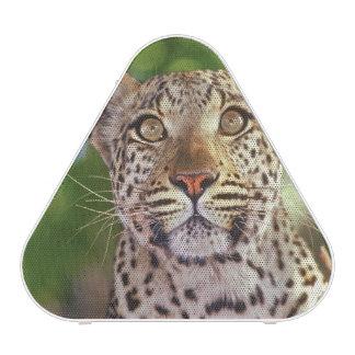 Africa, Botswana, Okvango Delta, wild leopard. Speaker