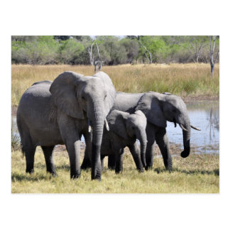 Africa Elephant Herds Postcard
