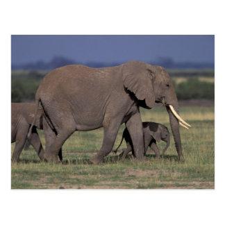 Africa, Kenya, Amboseli National Park. African 4 Postcard