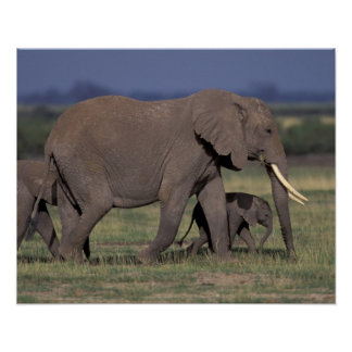 Africa, Kenya, Amboseli National Park. African 4 Poster