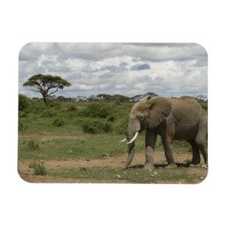 Africa, Kenya, Amboseli National Park, elephant, Magnet
