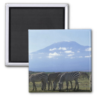 Africa, Kenya, Amboseli National Park, Herd of Square Magnet