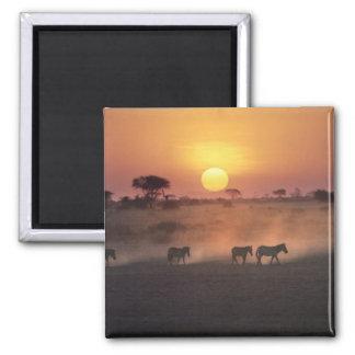 Africa, Kenya, Amboseli NP. Zebra walk to the Square Magnet