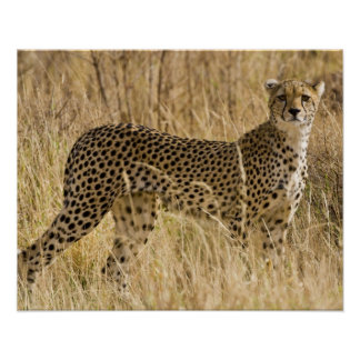 Africa. Kenya. Cheetah at Samburu NP. 2 Poster