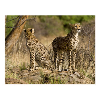 Africa. Kenya. Cheetahs at Samburu NP. Postcard