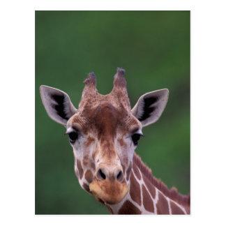 Africa, Kenya, Impala Ranch. Reticulated Postcard