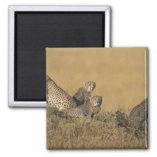 Africa, Kenya, Masai Mara Game Reserve, Adult 5 Square Magnet