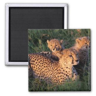 Africa, Kenya, Masai Mara Game Reserve. Cheetah 2 Square Magnet