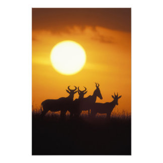 Africa, Kenya, Masai Mara Game Reserve, Topi Photo Print