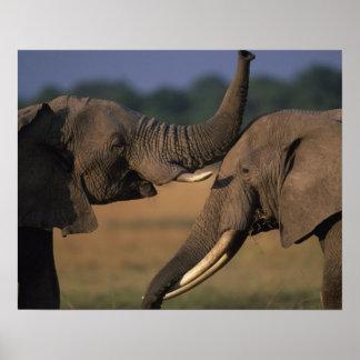 Africa, Kenya, Masai Mara Game Reserve, Two Bull Posters