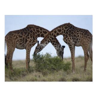 Africa, Kenya, Masai Mara Game Reserve, Two Postcard