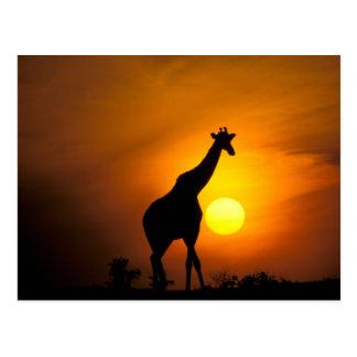 Africa, Kenya, Masai Mara. Giraffe (Giraffe Postcard
