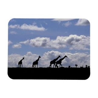 Africa,Kenya,Masai Mara. Giraffes (Giraffa Rectangular Photo Magnet