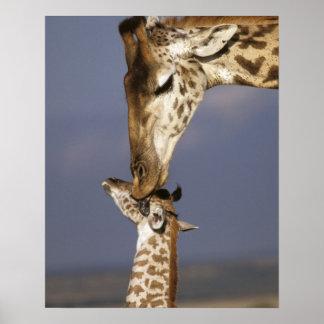 Africa, Kenya, Masai Mara. Giraffes (Giraffe Poster