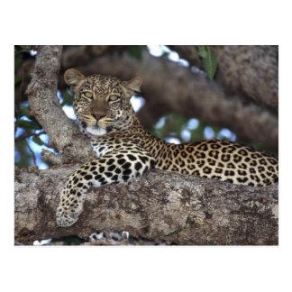 Africa. Kenya. Masai Mara. Leopard (Panthera Postcard