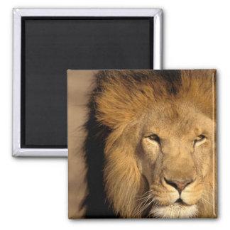 Africa, Kenya, Masai Mara. Lion male (Panthera Square Magnet