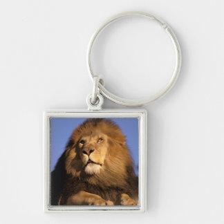 Africa, Kenya, Masai Mara. Male lion (Panthera Keychain