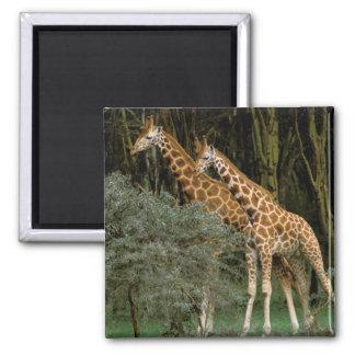 Africa, Kenya, Masai Mara. Masai giraffe Square Magnet