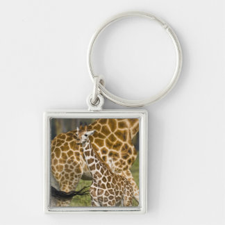 Africa. Kenya. Rothschild's Giraffe baby with Silver-Colored Square Keychain